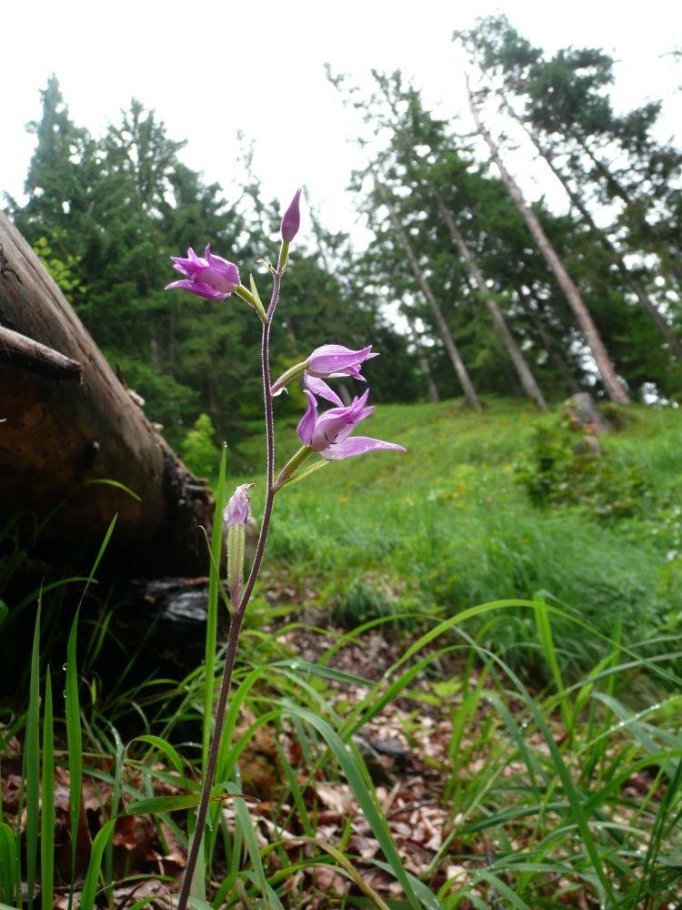 Die Orchidee Waldvögelein am Wegesrand zum Petersköpfel im zahmen Kaiser.