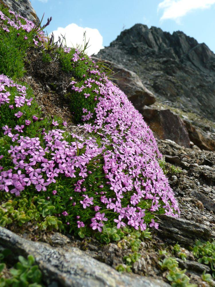 Blumenkissen am Fuße des Grieskogels