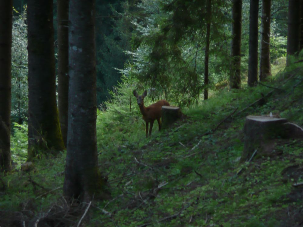 Begegnung mit scheuem Waldbewohner am frühen Morgen.