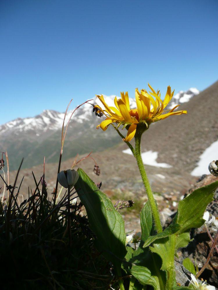 Herrliche Blumen im kargen Hochgebirge.